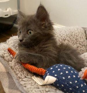 Rocky Road Domestic Medium Hair Cat