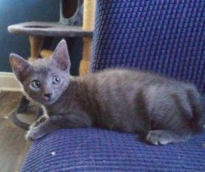 Fudge Brownie Domestic Short Hair Cat
