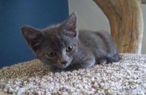 Blue Moon Domestic Short Hair Cat