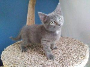 Neopolitan Domestic Short Hair Cat