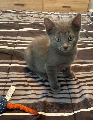 Cherry Garcia Domestic Short Hair Cat