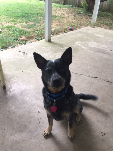 Trigger, an adopted Australian Cattle Dog / Blue Heeler in South Williamsport, PA