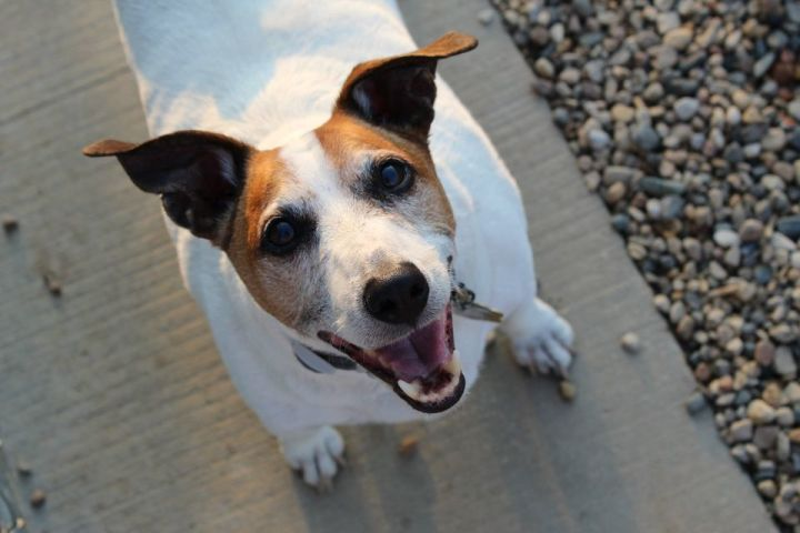 Dutch, an adoptable Terrier Mix in Pierre, SD