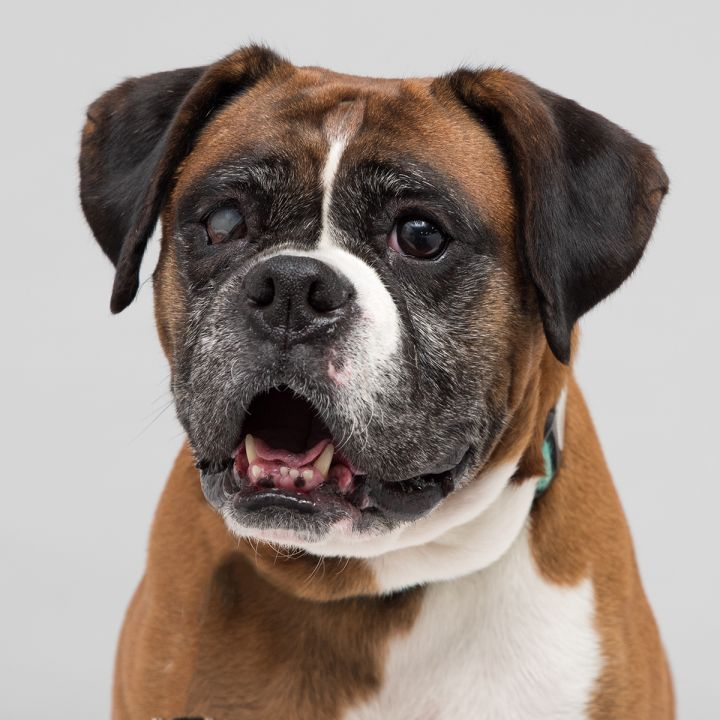 Honey, an adopted Boxer in Westfield, NY