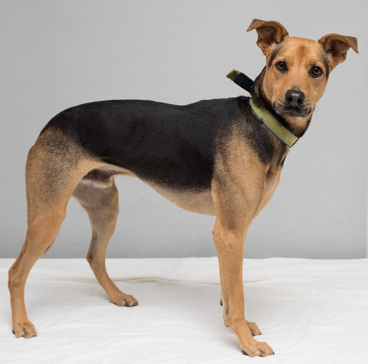 Hero, an adoptable Shepherd Mix in Westfield, NY