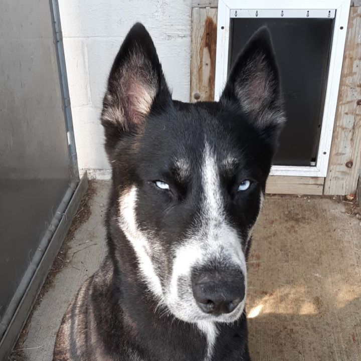 Chief, an adopted Husky & Cattle Dog Mix in Westfield, NY
