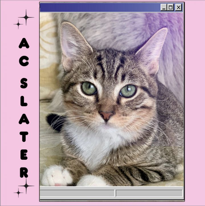 AC SLATER, an adoptable Tabby Mix in Van nuys, CA