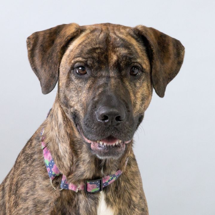 Izzy, an adopted Mastiff & Shepherd Mix in Westfield, NY