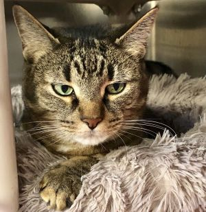 Gracie is a 10 year old declawed tabby cat who is not as traditionally adoptable as most other cats
