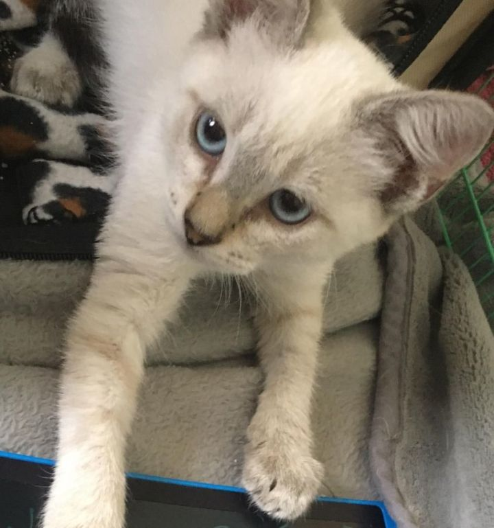 Alaska, an adoptable Domestic Short Hair Mix in Springfield, MO