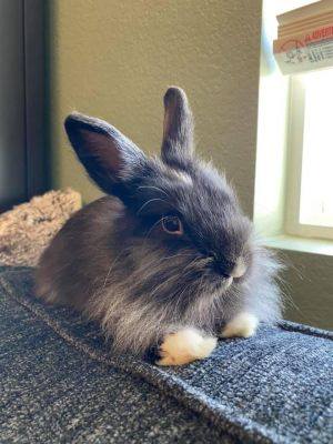 If you are interested in adopting Jet please inquire here on Petfinder or contact us at infobunnyw