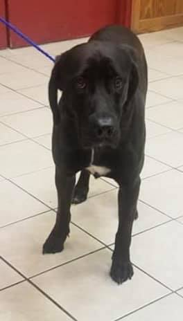 Jack is a 2-3 yr 60 lbs male black lab He loves to play with other dogs He is crate