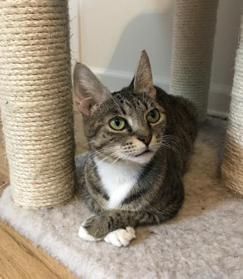 Josefina, an adoptable Domestic Short Hair Mix in Trenton, NJ