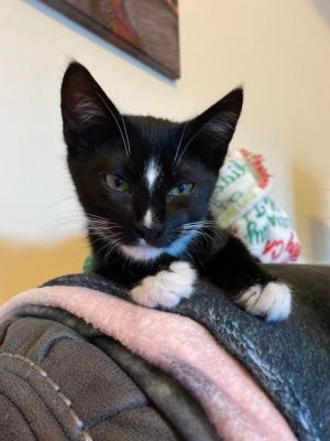 Noah is a four month old tuxedo who was found outside as a stray with his sister