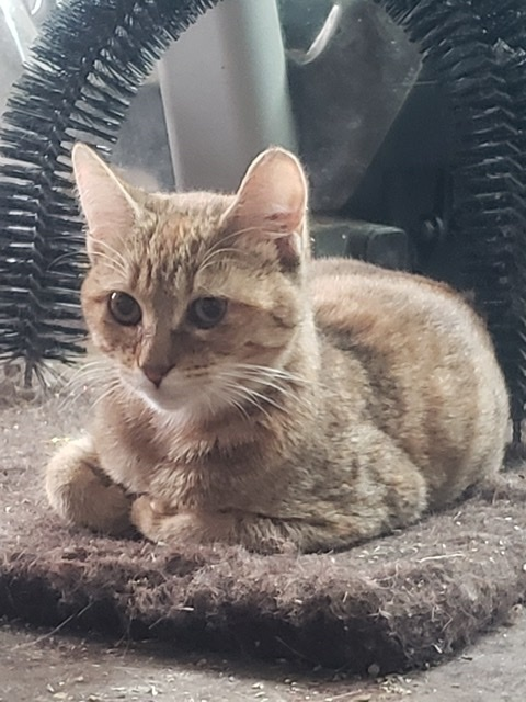 Bennie, an adopted Abyssinian & Tabby Mix in Mission Viejo, CA