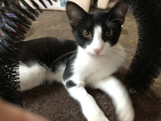 Blaze, an adopted Domestic Short Hair & Tuxedo Mix in Mission Viejo, CA