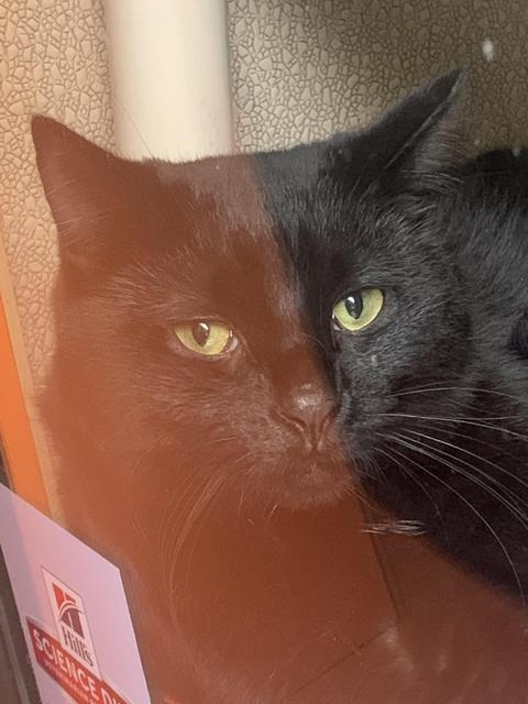 Shadow, an adoptable Domestic Short Hair in Utica, MI