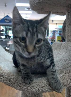 Kitty UP Tabby Cat
