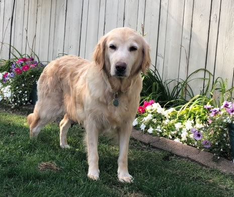 Gracie, an adopted Golden Retriever in Bath, OH