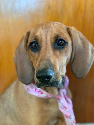 Molly 6 months old and 40 lbs as of 9520 Spayed Female Hound Mix High Energy Molly is the pe