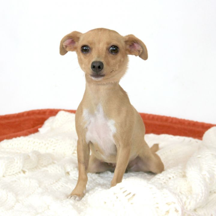 Paisley, an adoptable Chihuahua Mix in Clovis, CA