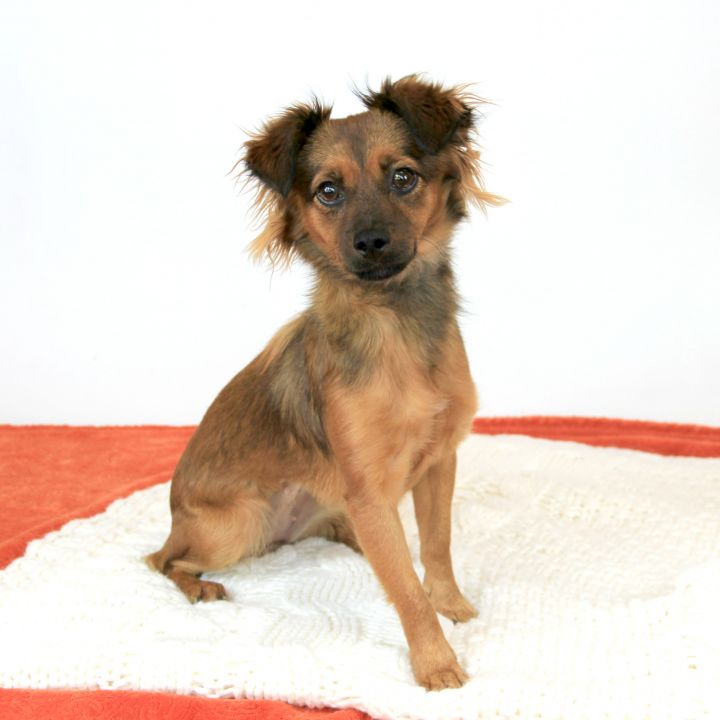 Apple, an adopted Terrier Mix in Clovis, CA