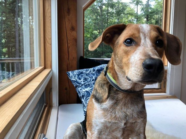 Luke, an adopted Australian Cattle Dog / Blue Heeler & Beagle Mix in Brunswick, ME
