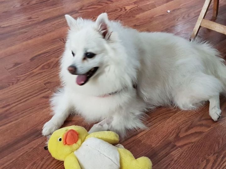 Pebbles, an adopted American Eskimo Dog Mix in Saskatoon, SK
