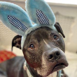 Walter Pit Bull Terrier Dog