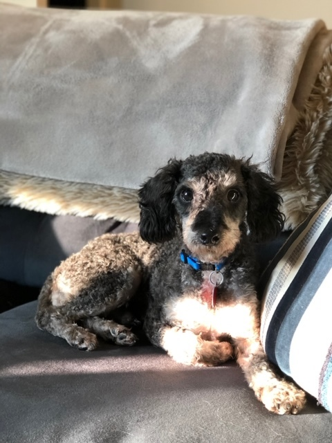 Edwin, an adopted Poodle in Long Beach, NY