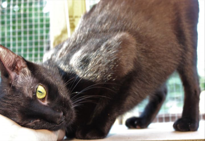 Karma - Pending Adoption, an adopted Domestic Short Hair in Minneapolis, MN
