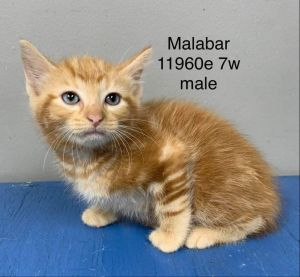 Meet Malabar a 7 week old 2 pound as of 91520 delightful DMH mix This lovely kitty is sweet