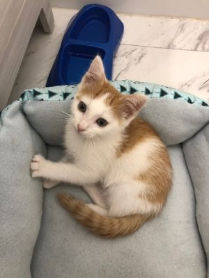 Meet KUBA a 7 week old 2 pound as of 91520 delightful DMH mix This lovely kitty is sweet so