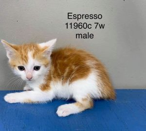 Meet Espresso a 7 week old 2 pound as of 91520 delightful DMH mix This lovely kitty is sweet