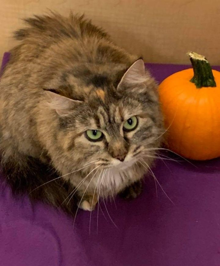 Georgia, an adopted Domestic Medium Hair & Torbie Mix in Eaton Rapids, MI