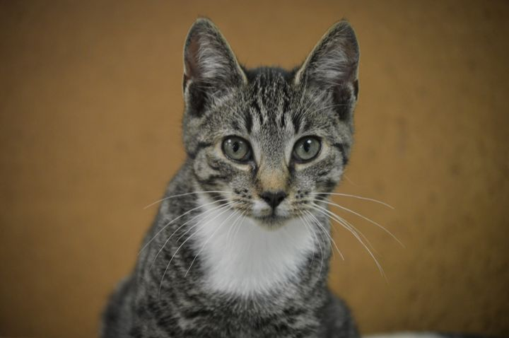 Grady, an adoptable Domestic Short Hair in Patterson, NY