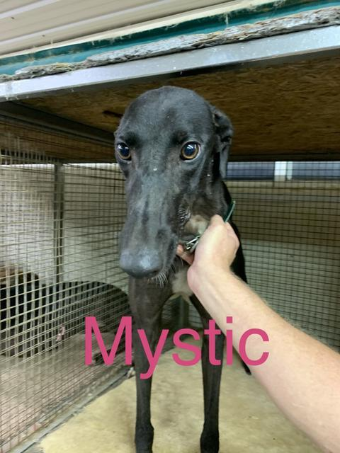 Mystic, an adopted Greyhound in Burlington, WI