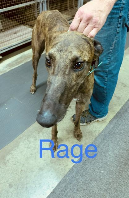 Rage, an adopted Greyhound in Burlington, WI