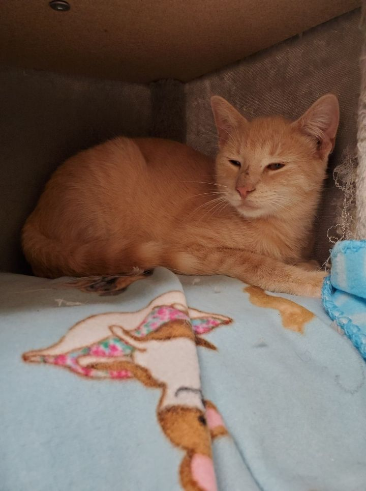 Rick, an adoptable Domestic Short Hair in Naperville, IL