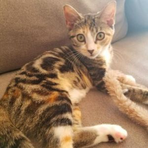 Krishna is a sweet smart active  energetic 4-month-old kitten She loves to chase and hunt her to