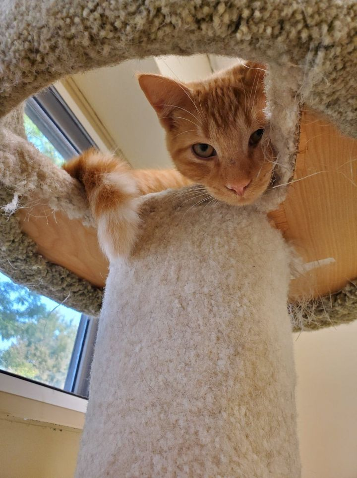 Morty, an adoptable Domestic Short Hair in Naperville, IL