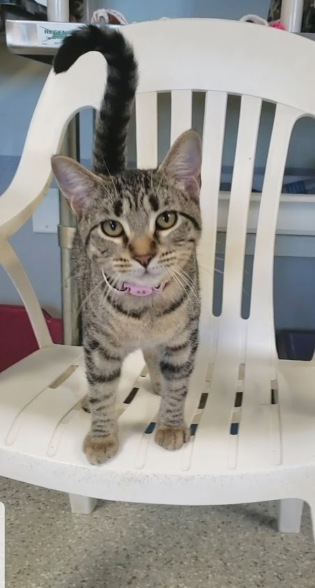 Scarlet, an adopted Tabby in Eglin AFB, FL