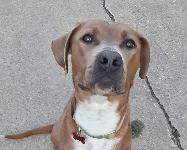 Cora, an adoptable Boxer Mix in Cincinnati, OH