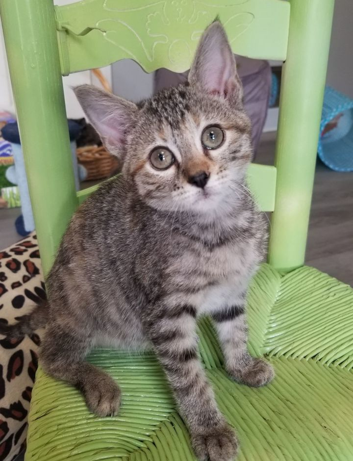 Toadette, an adoptable Domestic Short Hair in Springfield, MO