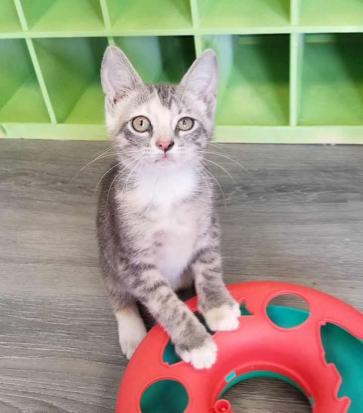 Jolene, an adoptable Domestic Short Hair in Springfield, MO