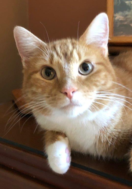 Dayton-Reduced Adoption Fee, an adopted Domestic Short Hair in Cincinnati, OH