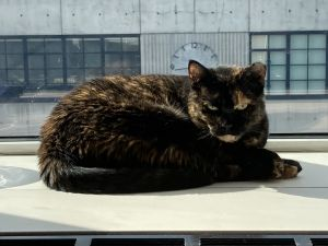 Meet Suzy This beautiful tortie has the most unique coat the colors and patterns seem to be straig