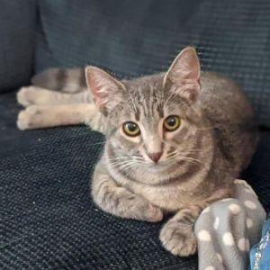 Kismet Domestic Short Hair Cat
