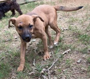 NJNY RESIDENTS ONLY Shepherd-Terrier mix 12 weeks 13 lbs spayed UTD with age appropriate vacci