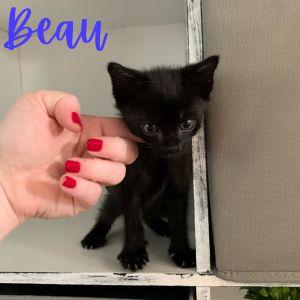 Beau, Clark, Humphrey Domestic Short Hair Cat